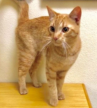[picture of Dov, a Domestic Short Hair orange tabby cat]