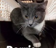 A picture of #ET02912: Dorrie a Domestic Short Hair Blue/white