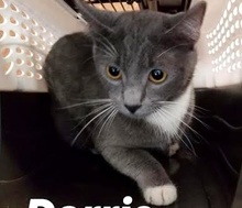 [picture of Dorrie, a Domestic Short Hair Blue/white\ cat]
