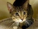 A picture of #ET02913: Darcie a Domestic Short Hair gray tabby/white