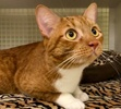A picture of #ET02914: Cheeto a Domestic Short Hair orange/white
