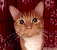 [picture of Cheeto, a Domestic Short Hair orange/white cat]