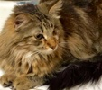 A picture of #ET02915: Ms Marie a Maine Coon-x gray