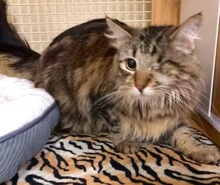 [another picture of Ms Marie, a Maine Coon-x gray\ cat]