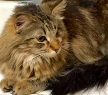 [picture of Ms Marie, a Maine Coon-x gray\ cat]