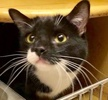 A picture of #ET02916: Ms Talker AKA Luna a Domestic Short Hair black/white
