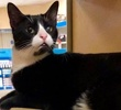 A picture of #ET02917: Otto a Domestic Short Hair black/white