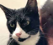 [picture of Otto, a Domestic Short Hair black/white\ cat]