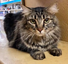 [another picture of Sapphire, a Maine Coon-x gray\ cat]