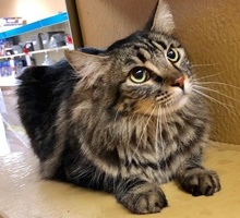 [picture of Sapphire, a Maine Coon-x gray\ cat]
