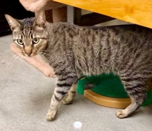 [another picture of Katia, a Domestic Short Hair gray tabby\ cat]