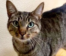 [picture of Katia, a Domestic Short Hair gray tabby\ cat]