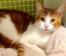 [picture of Apple Jacks, a Domestic Short Hair orange/white\ cat]