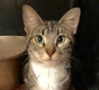 A picture of #ET02922: Pepper Souffle a Domestic Short Hair gray tabby/white