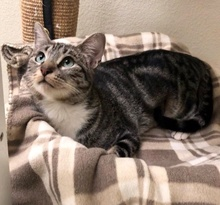 [another picture of Pepper Souffle, a Domestic Short Hair gray tabby/white\ cat]