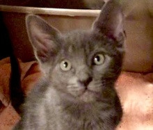 [picture of Blueberry Souffle, a Russian Blue Mix blue\ cat]