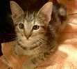 A picture of #ET02924: Marshmallow Souffle a Domestic Short Hair gray marble tabby