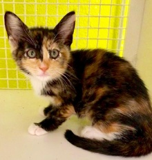 [another picture of Chocolate Cherry Souffle, a Domestic Short Hair calico\ cat]