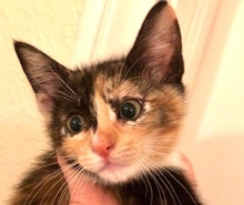 [picture of Chocolate Cherry Souffle, a Domestic Short Hair calico\ cat]