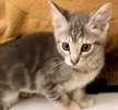 A picture of #ET02926: Boysenberry Short Cake a Domestic Short Hair silver