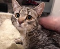 A picture of #ET02927: Reilly a Domestic Short Hair gray tabby/white