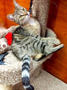 [another picture of Reilly, a Domestic Short Hair gray tabby/white\ cat]