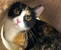 A picture of #ET02928: Florine a Domestic Short Hair calico