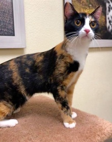 [another picture of Florine, a Domestic Short Hair calico\ cat]