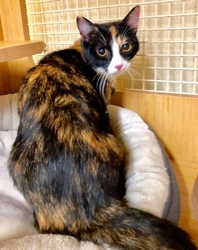 [picture of Florine, a Domestic Short Hair calico cat]