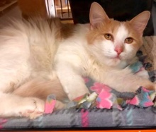 [another picture of Yugo, a Ragdoll Mix orange//white\ cat]
