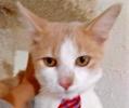 [picture of Yugo, a Ragdoll Mix orange//white cat]