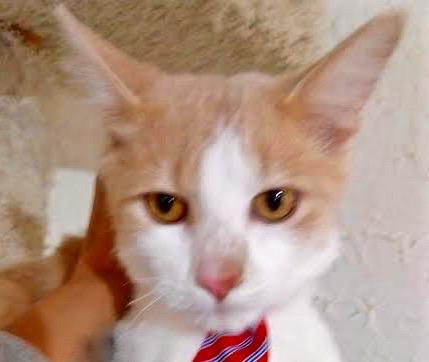 [picture of Yugo, a Ragdoll Mix orange//white\ cat]
