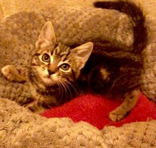 [another picture of Elli, a Domestic Short Hair marble gray tabby\ cat]
