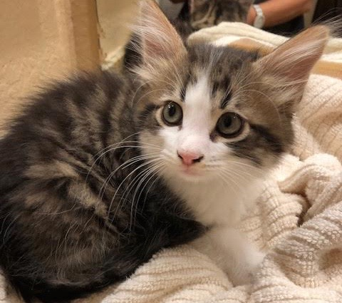 [picture of Fluff, a Maine Coon-x gray tiger tabby/white\ cat]