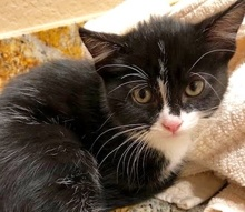 [picture of Erika, a Domestic Short Hair black/white\ cat]