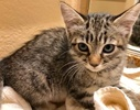 A picture of #ET02934: Emma a Domestic Short Hair gray stripe tabby