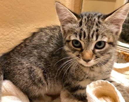 [picture of Emma, a Domestic Short Hair gray stripe tabby\ cat]