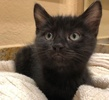 A picture of #ET02935: Enni a Domestic Short Hair black
