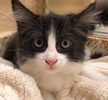 A picture of #ET02936: Emeli a Maine Coon-x black/white