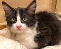 A picture of #ET02937: Eileen a Domestic Short Hair black white