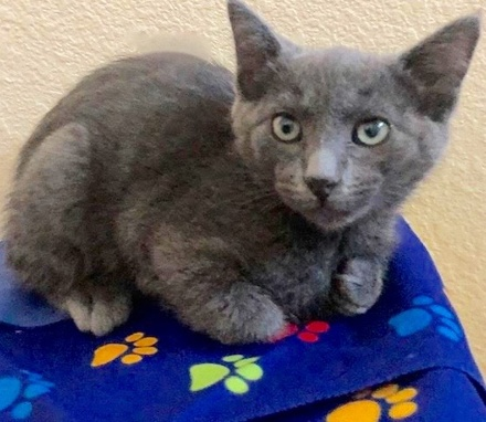 [picture of Tequila Sunrise, a Russian Blue Mix blue\ cat]