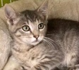 A picture of #ET02939: Mojito With Mint a Domestic Short Hair silver tabby