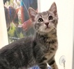 A picture of #ET02940: Frozen Horchata a Domestic Short Hair silver marble