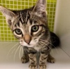 A picture of #ET02941: Chili Lime Margarita a Domestic Short Hair gray marble tabby