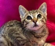 [picture of Mandarin Margarita, a Domestic Short Hair gray tabby\ cat]