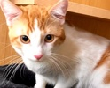 A picture of #ET02943: Oliver Twist a Domestic Short Hair orange/white