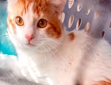 [picture of Oliver Twist, a Domestic Short Hair orange/white\ cat]