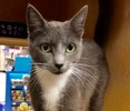 A picture of #ET02944: Krystle a Domestic Short Hair blue/white