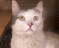 A picture of #ET02945: Frank a Turkish Van Mix white/black