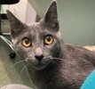 A picture of #ET02946: Chiquita a Russian Blue Mix blue